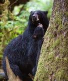 Gröngöling och moder för svart björn Royaltyfri Fotografi