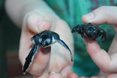 Gröngölingar av sköldpaddor i händer av mannen Royaltyfri Bild