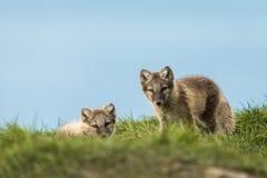 Gröngölingar för arktisk räv som vilar i det gröna gräset Svalbard Royaltyfri Fotografi