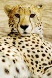Gröngölingar för Cheetah (Acinonux jubatus), Sydafrika arkivfoton
