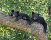 Gröngölingar för svart björn i ett träd Arkivbild