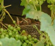Gröngölingar sitter i redet Arkivfoto