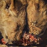 Gröngölingar som äter kött Royaltyfria Bilder
