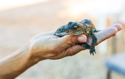 Gröngölingen är den amerikanska krokodilen Royaltyfri Bild