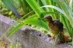 Gröngölingen flög ut ur redet och väntar på matningen Gemensam Blackbird naturlig livsmiljö Arkivbilder
