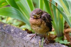 Gröngölingen flög ut ur redet och väntar på matningen Gemensam Blackbird Photohunting Royaltyfri Fotografi