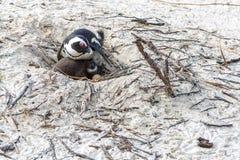 Gröngölingpingvin Arkivfoto