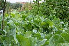 Grönkålar i en lantgård Royaltyfria Foton