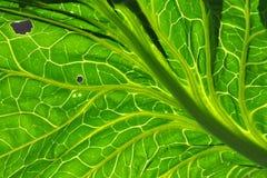 Grönkålblad med backlighting Arkivfoton