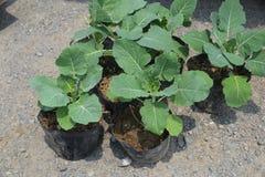 Grönkålplantor Royaltyfria Bilder