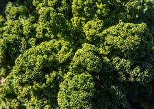 Grönkålväxter i fältet som tänds av solen Arkivbilder