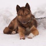 Grönland-Schlittenhund lizenzfreies stockbild