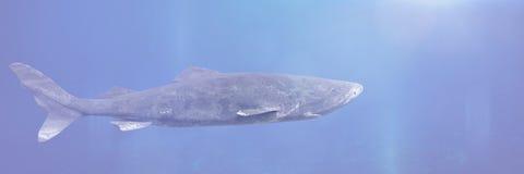 Grönlandhajsimning, Somniosus microcephalus, haj med den längsta bekanta vertebratarten för lifespan allra fotografering för bildbyråer