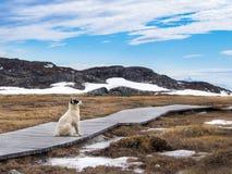 Grönlandhund i Ilulissat, Grönland Royaltyfri Foto