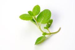 grönmynta Royaltyfri Foto