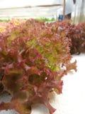Grönsak för röd korall royaltyfri foto