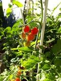 Grönsak på solen arkivbilder