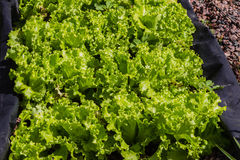 Grönsaken kantjusterar Hydroponics Arkivbilder