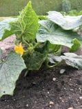 grönsaker för gurkablommaleafs Royaltyfri Bild