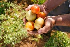Grönsaker för manbondeIn Tomato Field visning till kameran Royaltyfri Bild