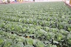 Grönsakerna är sunda och non-giftet Arkivfoton