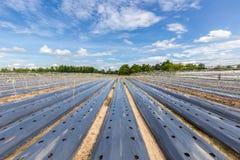Grönsakfält som täckas med mulching av filmen Arkivfoto