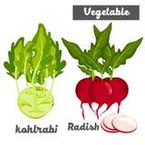 Grönsakkålrabbi och rädisa vektor illustrationer