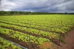 Grönsaklantbruk. Arkivfoto