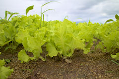 Grönsaklantbruk. Arkivbild