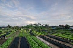 Grönsaklantgård i Bukit Mertajam Royaltyfri Bild