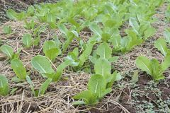 Grönsakodlinglantgård odling av grön sallad royaltyfria bilder