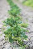 Grönsakplanta Fotografering för Bildbyråer