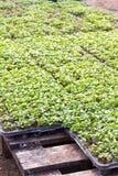 Grönsakplantor Royaltyfri Fotografi
