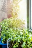 Grönsakplantor för stads- trädgård och grönsakträdgård växer i en plast- behållare på ett fönster i jordningen på en solig dag fotografering för bildbyråer