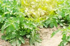 Grönsakrad av unga potatisar i fältet lantbruk jordbruk, grönsaker, eco-vänskapsmatch jordbruksprodukter, agroindustry, Royaltyfri Foto