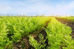 Grönsakrader av den unga moroten växer i fältet V?xa bruka sk?rdar H?rligt landskap p? kolonin Jordbruk arkivbilder