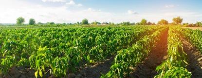 Grönsakrader av peppar växer i fältet Lantbruk jordbruk Landskap med jordbruks- land Selektivt fokusera arkivbilder