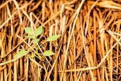 Grönsaktäppan och att plantera peppar, växande grönsaker sätter in cov royaltyfria bilder