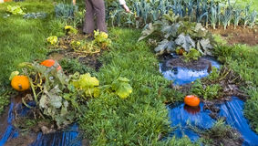 Grönsakträdgård, formell trädgård, pumpa, purjolök, gräs, presenning Arkivfoto
