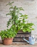 Grönsakträdgård i en tappningfruktask med tomat Royaltyfri Foto