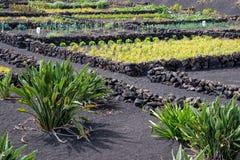 Grönsakträdgård i Lanzarote, kanariefågelöar, Spanien Royaltyfria Bilder