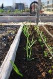 Grönsakträdgård: lyftt säng med lökar Arkivfoto