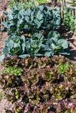Grönsakträdgård med grön kål Arkivfoto