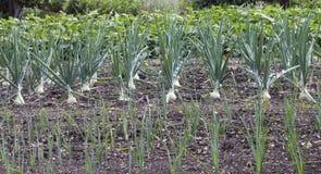 Grönsakträdgård med rader av lökar Arkivbilder