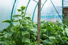 Grönsakväxter i växthussommar Royaltyfria Bilder