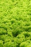 grönsallat Arkivbilder