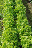 grönsallat Arkivfoto