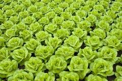 grönsallat Royaltyfri Fotografi