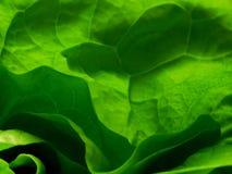 grönsallat Fotografering för Bildbyråer