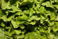 Grönsallat royaltyfri foto